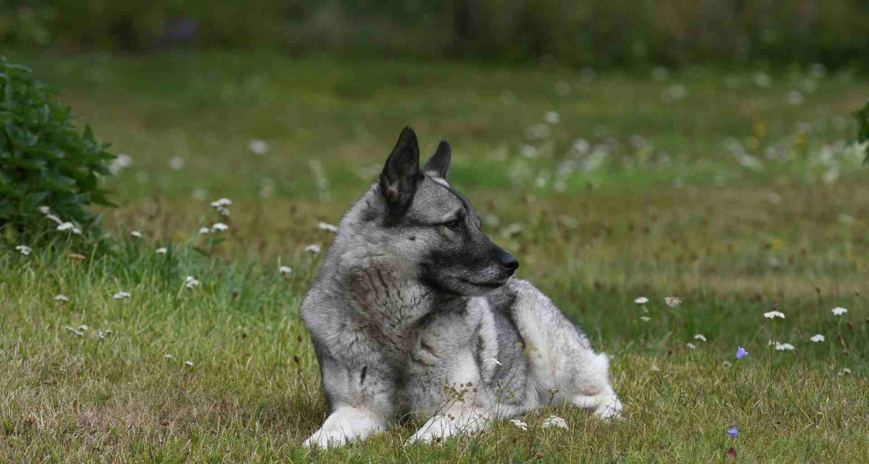 elkhound
