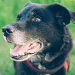 Jakthund awareness – Del 5  Med seniorhunden på jakt